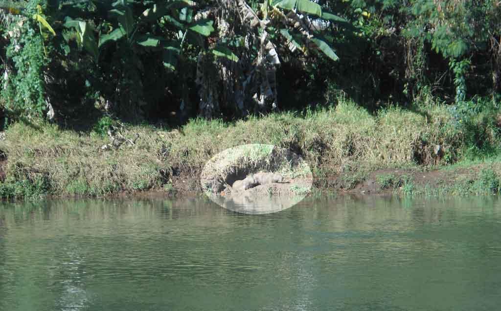 No detalhe, casal de Capivaras na sua toca. A fêmea está prenhe! - Parque Linear Uberabinha